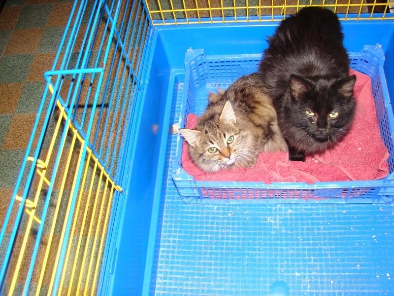 adoptés chatons poil long 3/4mois male et femelles chateki04 Chaton39
