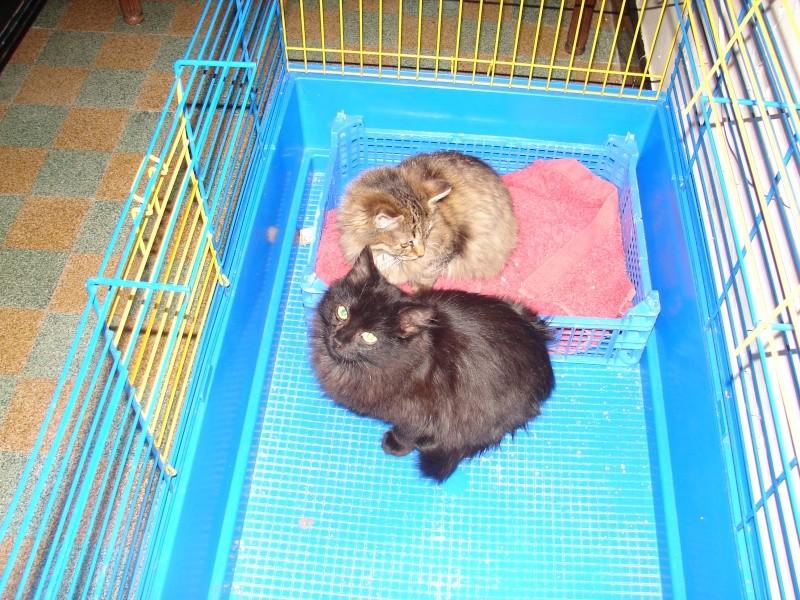 adoptés chatons poil long 3/4mois male et femelles chateki04 Chaton40