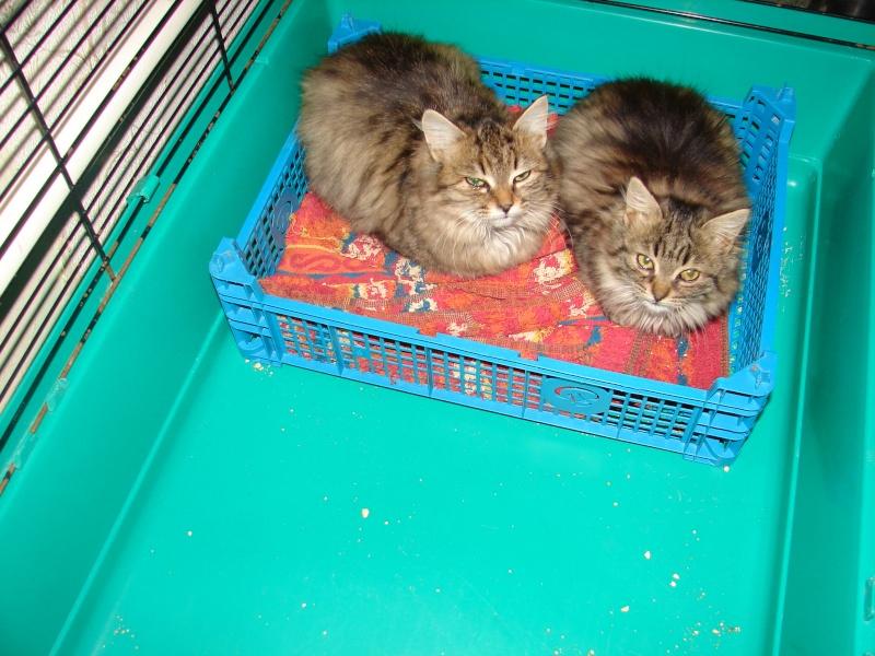 adoptés chatons poil long 3/4mois male et femelles chateki04 Chaton41