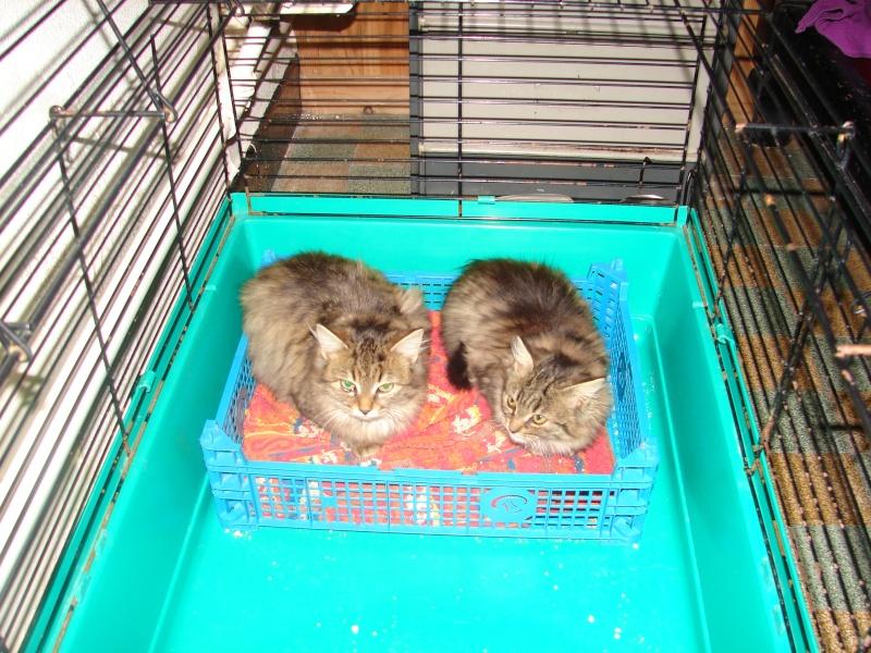 adoptés chatons poil long 3/4mois male et femelles chateki04 Chaton42