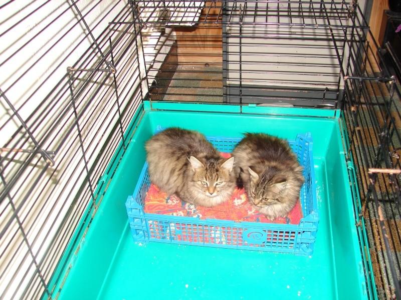 adoptées 2 chatonnes 3/4 mois tigrées poil long chateki04  Chaton44