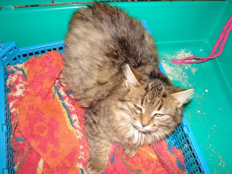 adoptées 2 chatonnes 3/4 mois tigrées poil long chateki04  Chaton48