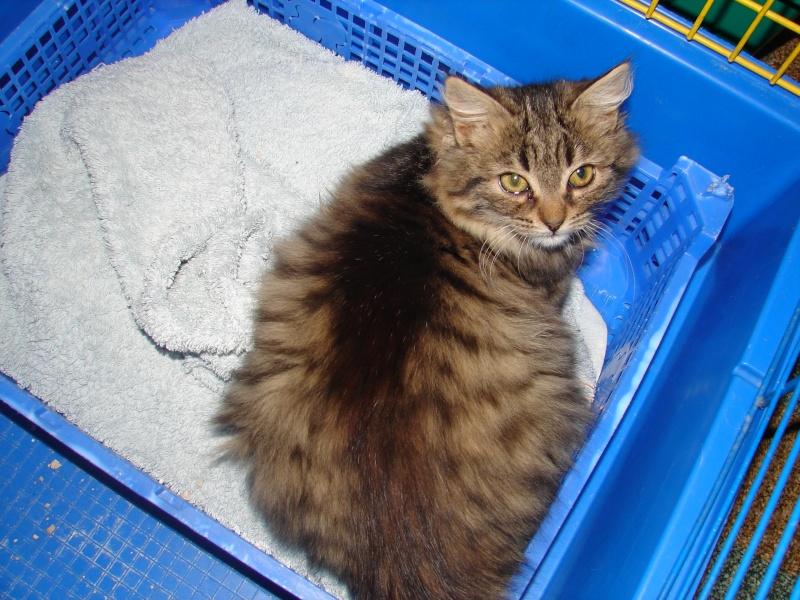 adoptées 2 chatonnes 3/4 mois tigrées poil long chateki04  Chaton49