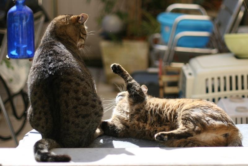 adoptée  Thelma chatte tigrée et sa chatonne 04/06 Chats_33