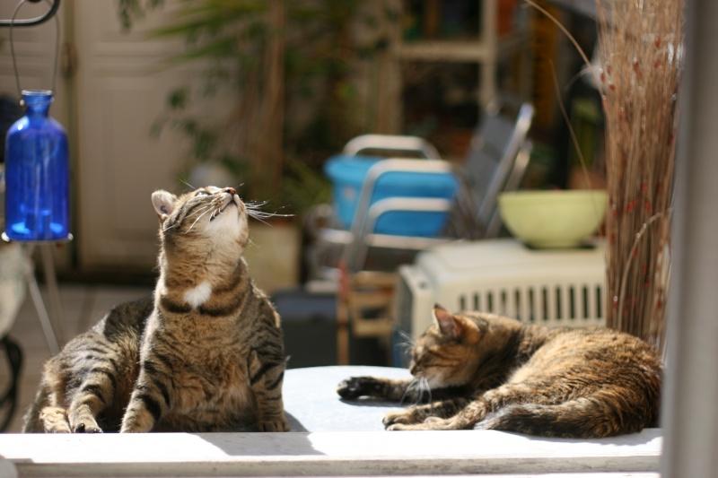 adoptée  Thelma chatte tigrée et sa chatonne 04/06 Chats_35