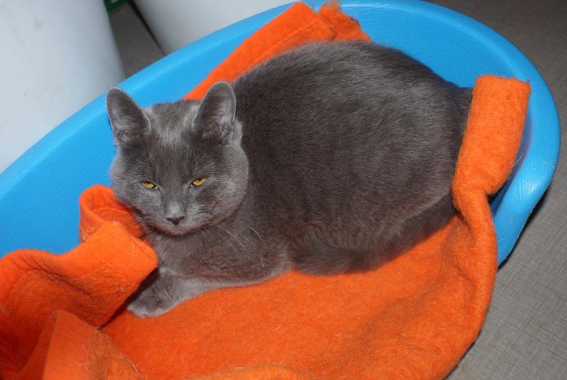 adoptés Les 4 chats bleus  en urgence chateki04 Chatte10