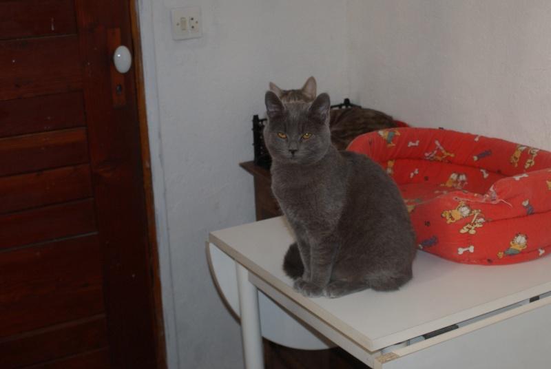 adoptés Les 4 chats bleus  en urgence chateki04 Photos14