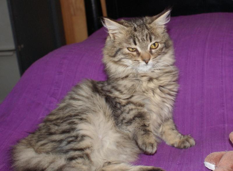 adoptées 2 chatonnes 3/4 mois tigrées poil long chateki04  Photos15