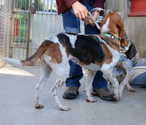 Lisa, femelle croisée Beagle née en 2005, SPA Oyonnax (01) Miss410