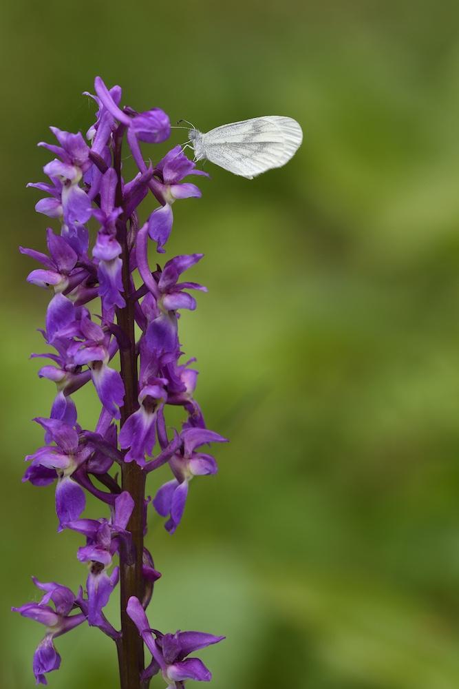 Chemin des Orchidées à Montenach : 2017-031