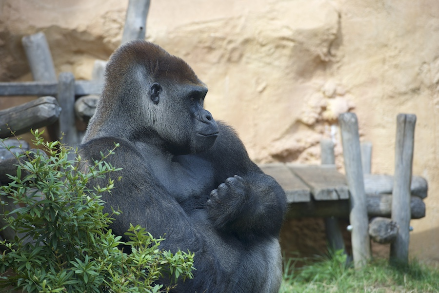 Gorille au zoo d'Amnéville _dsc0710