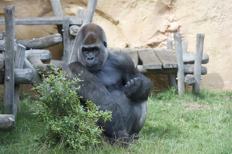 Gorille au zoo d'Amnéville _dsc0711