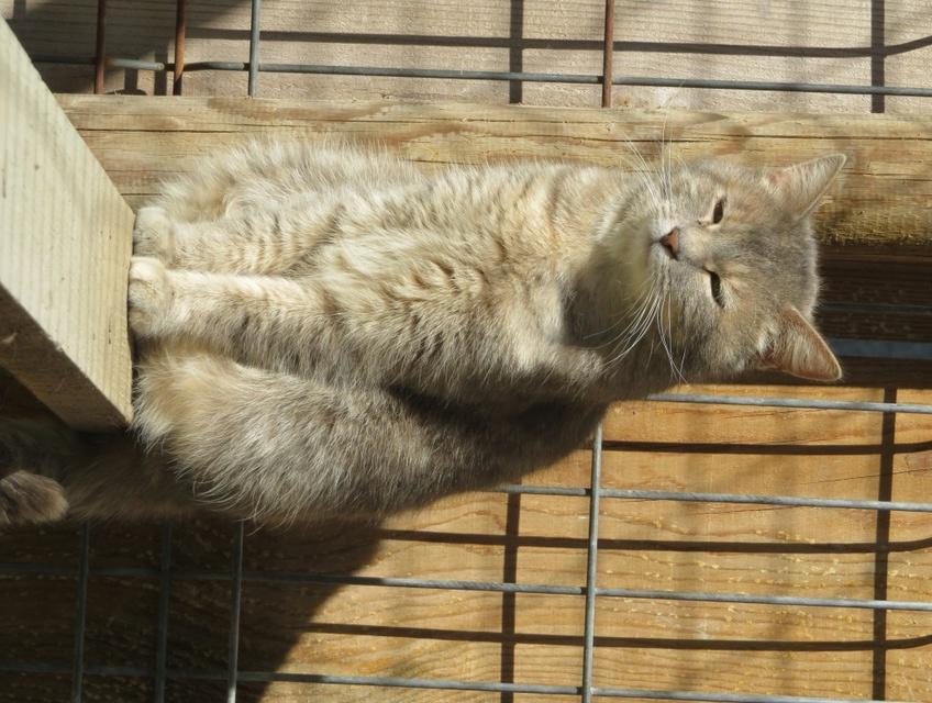 JADE femelle tigrée grise claire 5 ans Img_1637