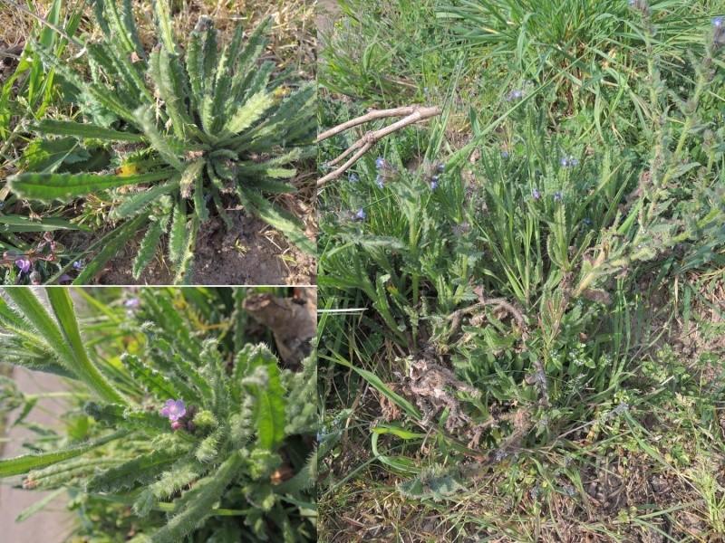 Buglosse des champs / Anchusa arvensis 110