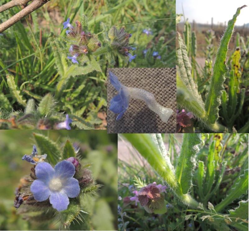 Buglosse des champs / Anchusa arvensis 210
