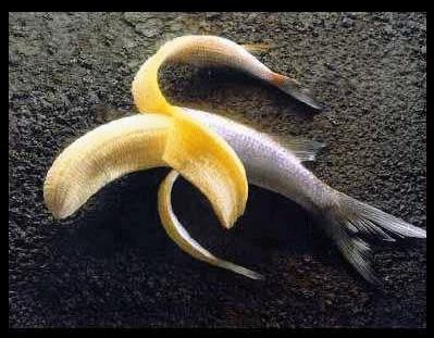 L'origine de la forme du Zippo Banane11