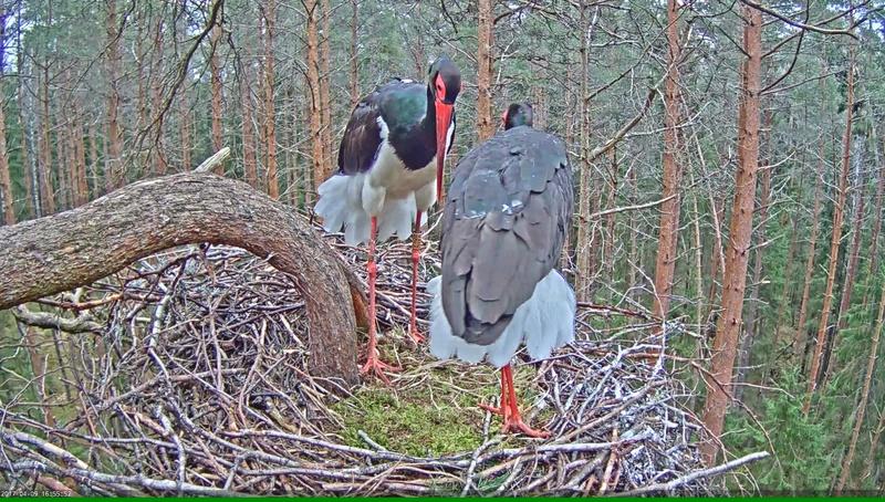Black Stork Nest 2017 Vlcsna31