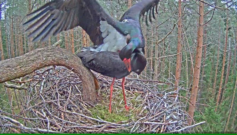 Black Stork Nest 2017 Vlcsna32