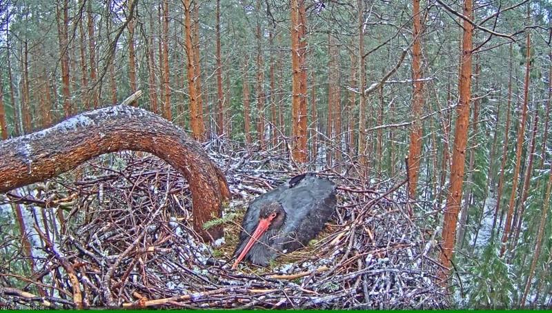 Black Stork Nest 2017 Vlcsna38