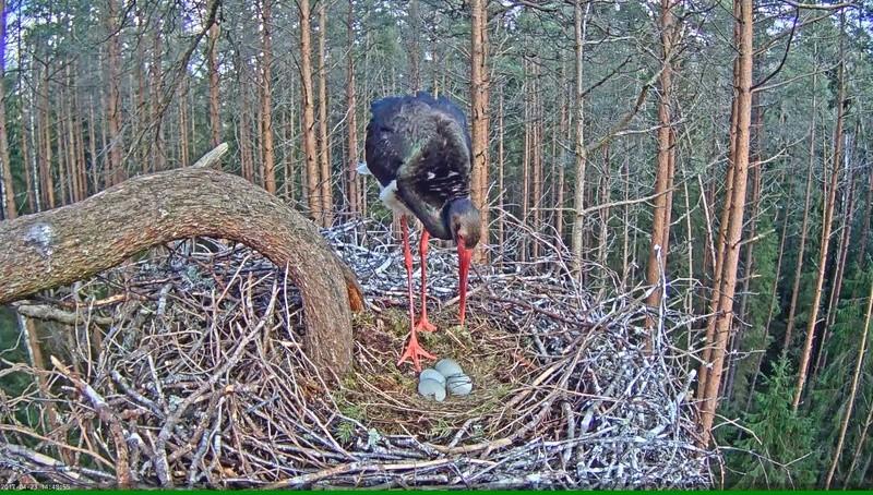 Black Stork Nest 2017 Vlcsna40