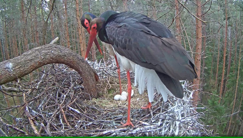 Black Stork Nest 2017 Vlcsna47
