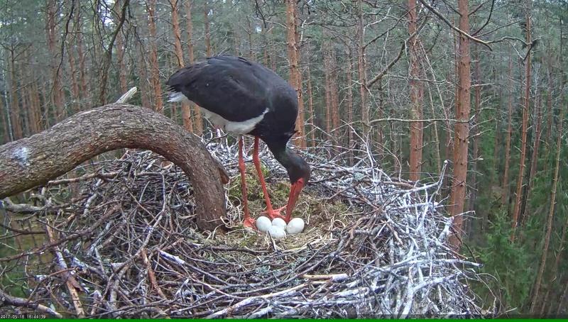 Black Stork Nest 2017 Vlcsna48