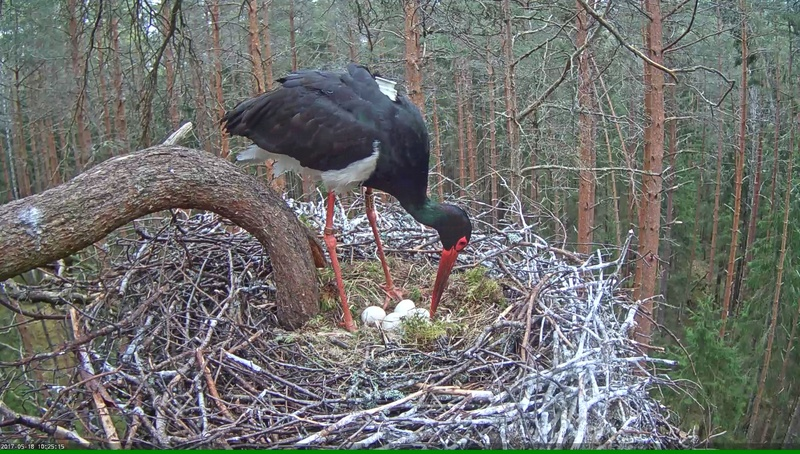 Black Stork Nest 2017 Vlcsna49