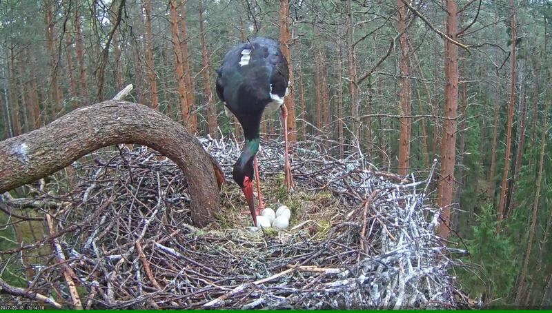 Black Stork Nest 2017 Vlcsna50