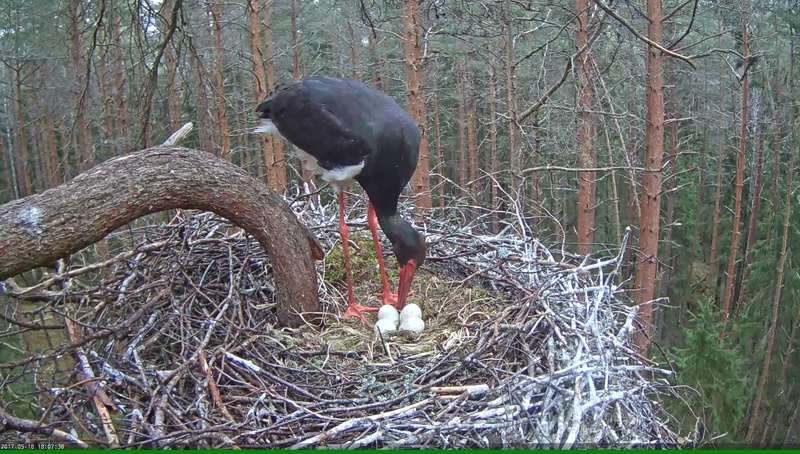 Black Stork Nest 2017 Vlcsna51