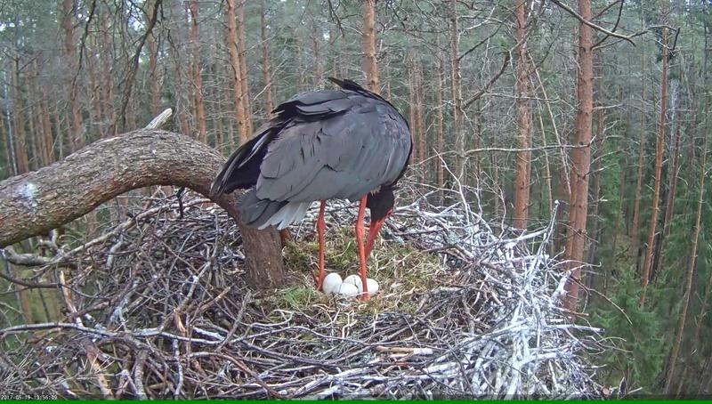 Black Stork Nest 2017 Vlcsna52
