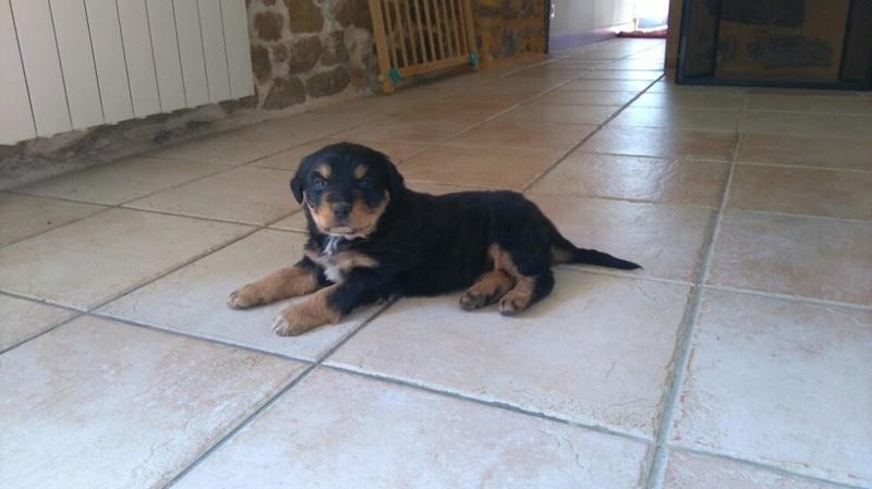 petite chienne de 7 / 8 semaine (x beauceron) cherche FA 18109411