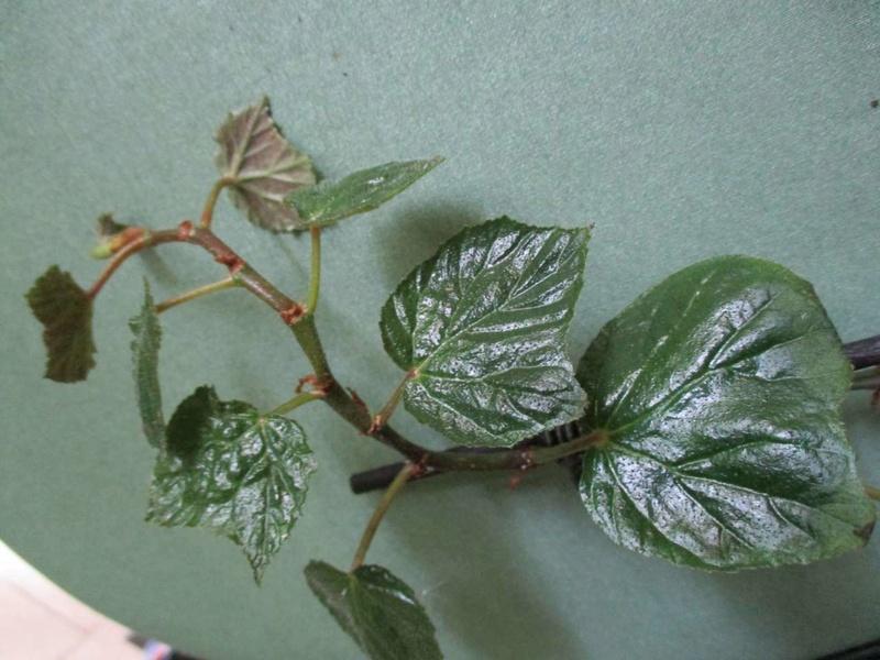 Begonia convolvulacea et ? Convol10