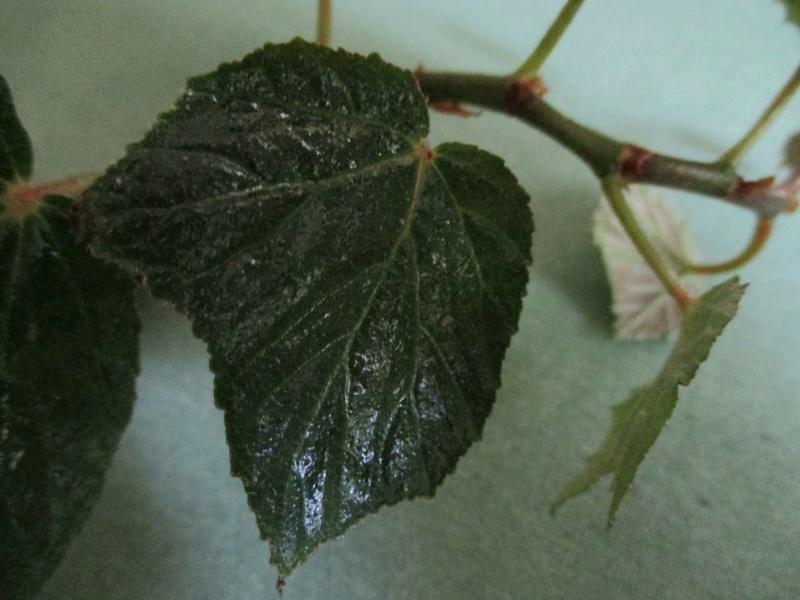 Begonia convolvulacea et ? Convol11