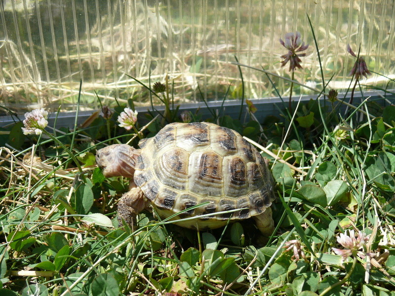 Tortue des steppes Agrionemys horsfieldii  P1060828