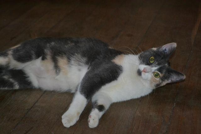 lisbeth - LISBETH, chatte européenne tricolore, née en 2015. Dsc_0010
