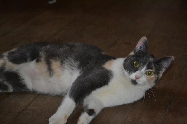 lisbeth - LISBETH, chatte européenne tricolore, née en 2015. Dsc_0012