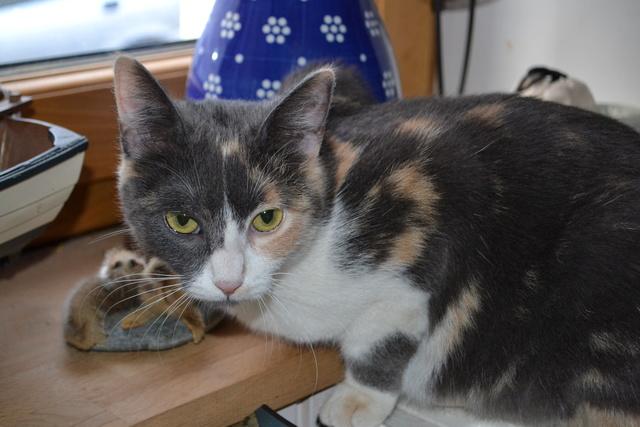 lisbeth - LISBETH, chatte européenne tricolore, née en 2015. Dsc_0013