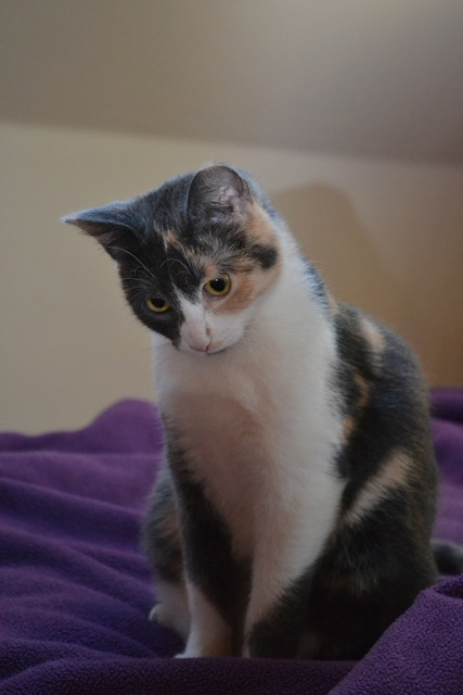 lisbeth - LISBETH, chatte européenne tricolore, née en 2015. Dsc_0014