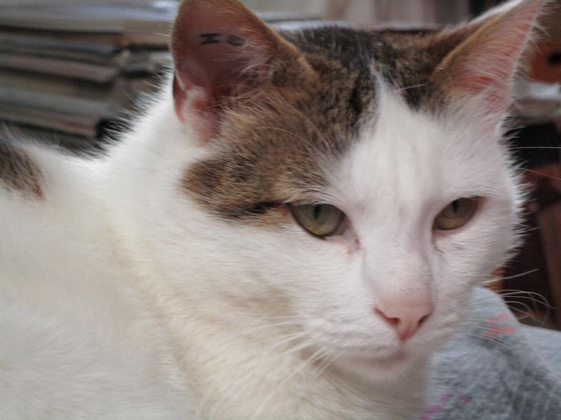 JENNIFER, chatte européenne blanche et tigrée, née en 2014. Img_0711