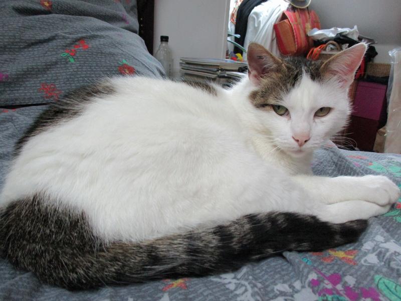 JENNIFER, chatte européenne blanche et tigrée, née en 2014. Img_0713