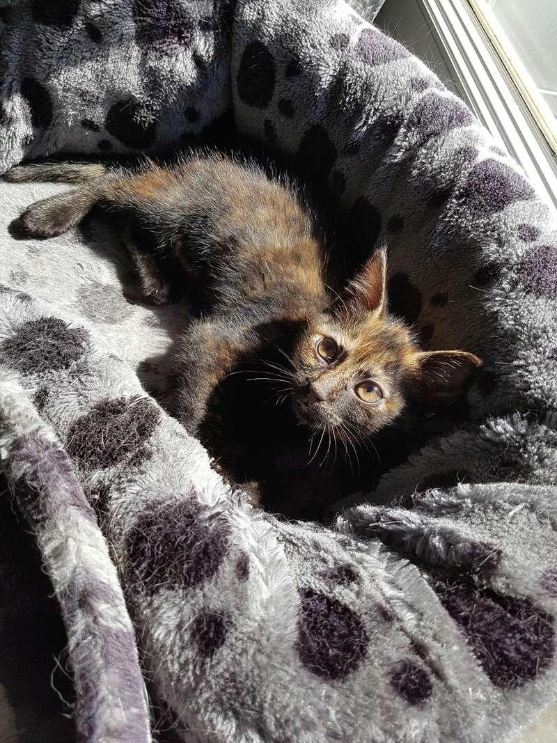 Naima chatonne née le 2 avril 2017 Ecaille de Tortue Naima110