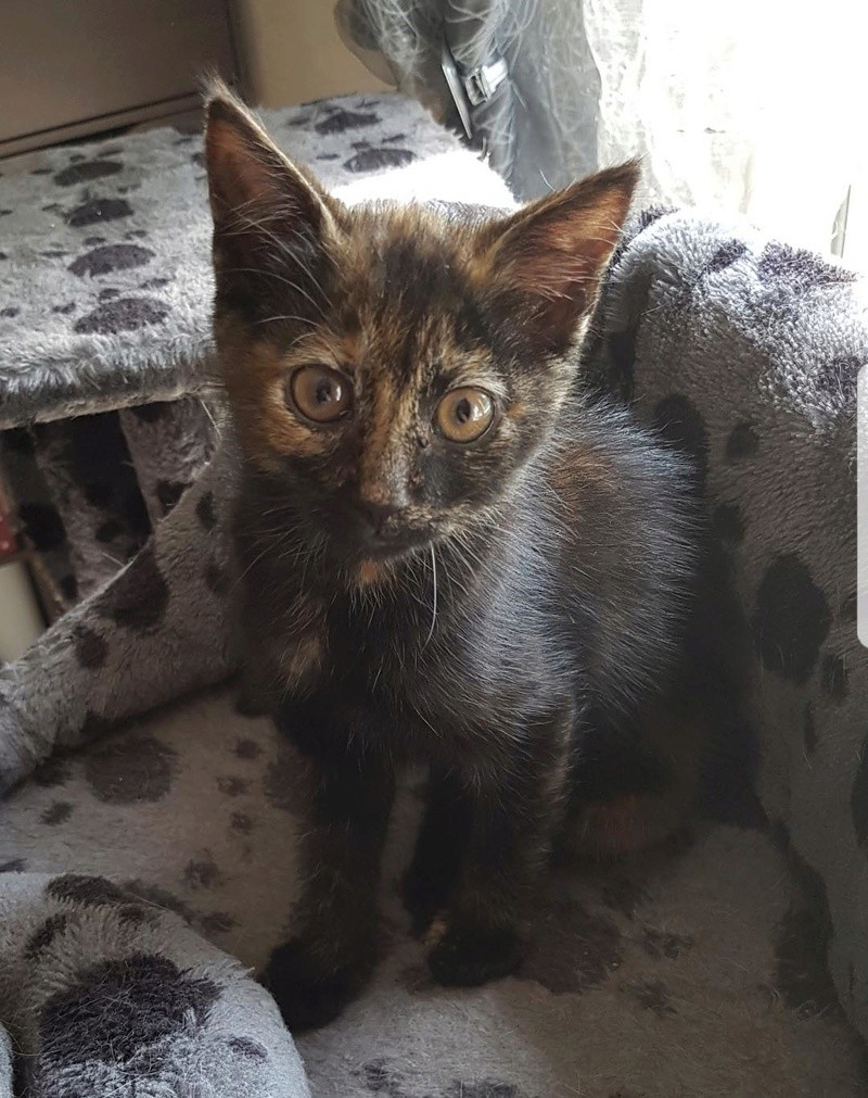 Naima chatonne née le 2 avril 2017 Ecaille de Tortue Naima210