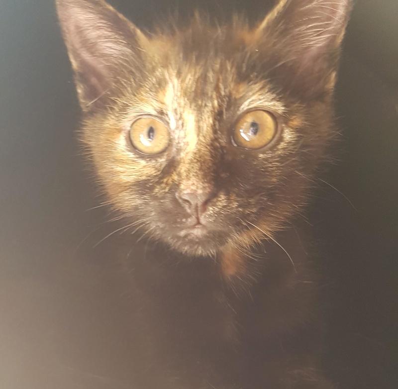 Naima chatonne née le 2 avril 2017 Ecaille de Tortue Naima310