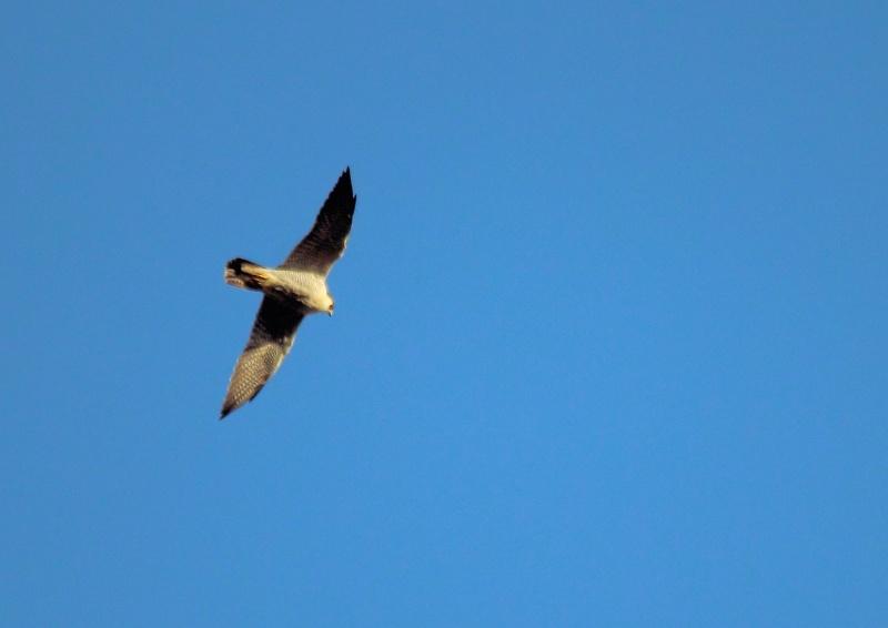 [Faucon pélerin (Falco peregrinus)] Faucon pélerin ou épervier d'Europe ? Img_1310