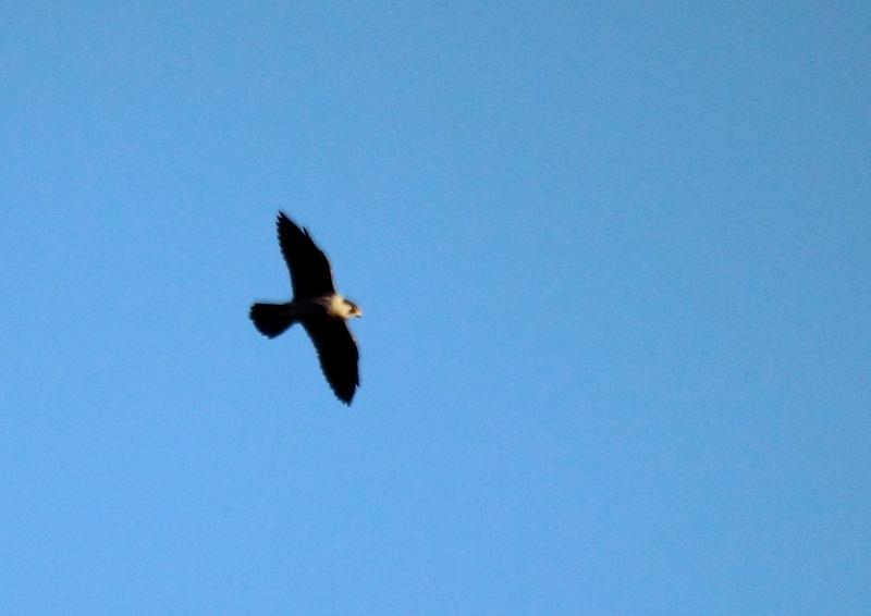 [Faucon pélerin (Falco peregrinus)] Faucon pélerin ou épervier d'Europe ? Img_1311
