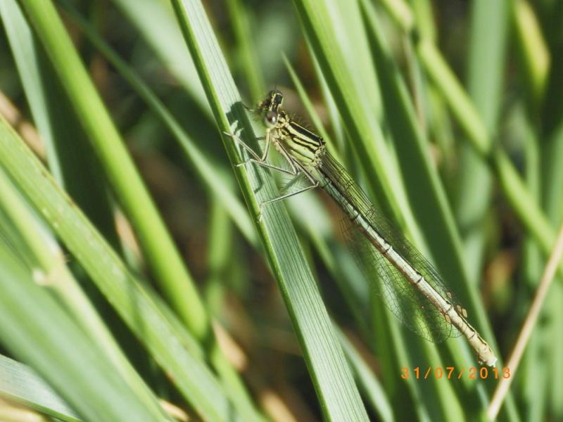 ID Gomphidae Imgp6210
