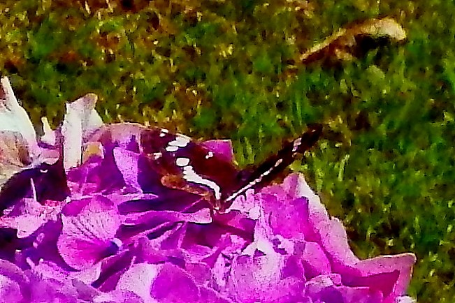 [Petit sylvain (Limenitis camilla)] Petit sylvain? Petit_11