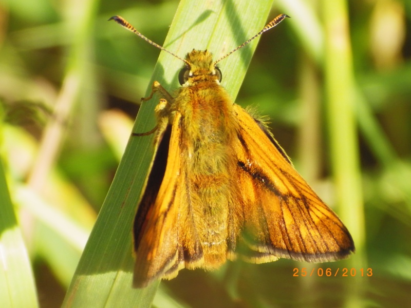 [Hespérie du dactyle (Thymelicus lineola) et Sylvaine (Ochlodes venatus)] sylvaine ? Sylvai12