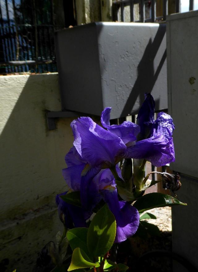 Un petit tour au jardin Iris_c11