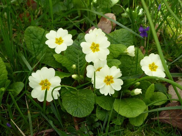Le printemps est arrivé P1000113
